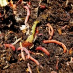 red_wiggler_worms_in_vermicompost_cc2_looseends_flickr